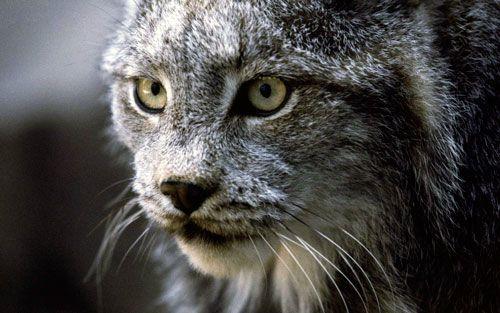 Очеретяний кіт: хижак або домашній вихованець?