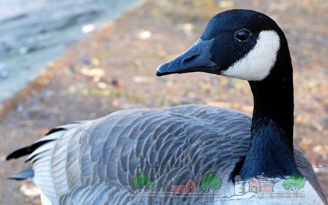 Фото канадської птиці поблизу