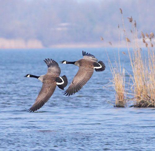 Дві канадські казарки летять
