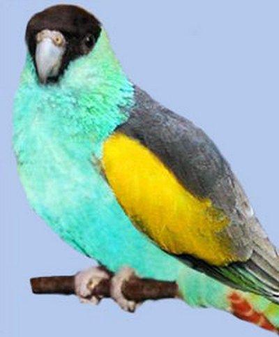 Капюшон співочий попугайpsephotus dissimilis
