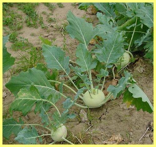 Капуста кольрабі вирощування і догляд