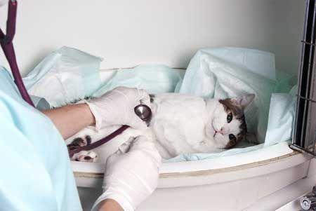 Кардіоміопатія у кішок.