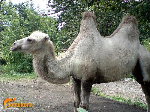 Секрети верблюдів і його родичі в америці