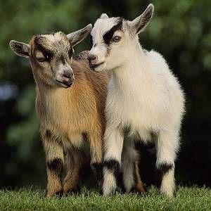 Карликова коза: історія, догляд, годування