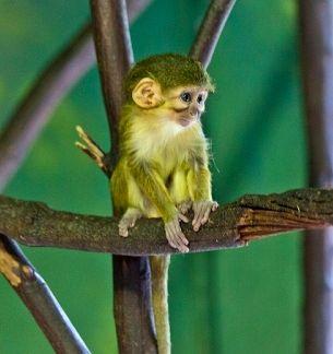 Карликова мавпа, або талапойн