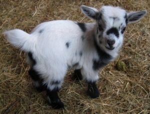 Карликові камерунські кози: особливості та зміст