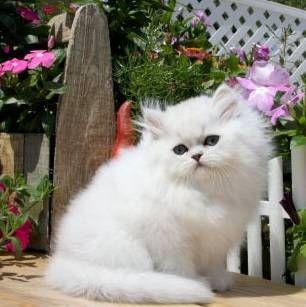 Карликові кішки: види, особливості змісту