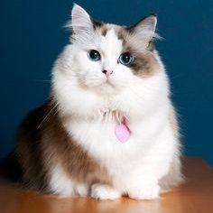 карликові кішки