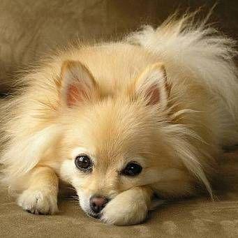 Карликові собаки: породи і зміст