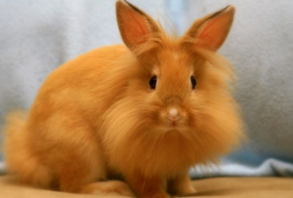 Декоративний карликовий кролик
