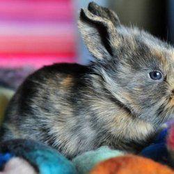 Кольоровий карликовий кролик
