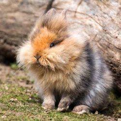 Левоголовим карликовий кролик