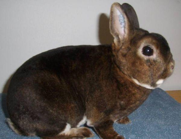 Карликовий кролик - висловухий баран
