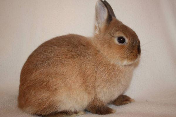 Карликовий кролик - лисяча порода