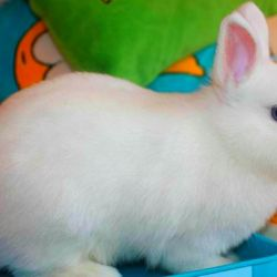 Карликовий левоголовим кролик