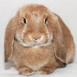 Голландський висловухий кролик
