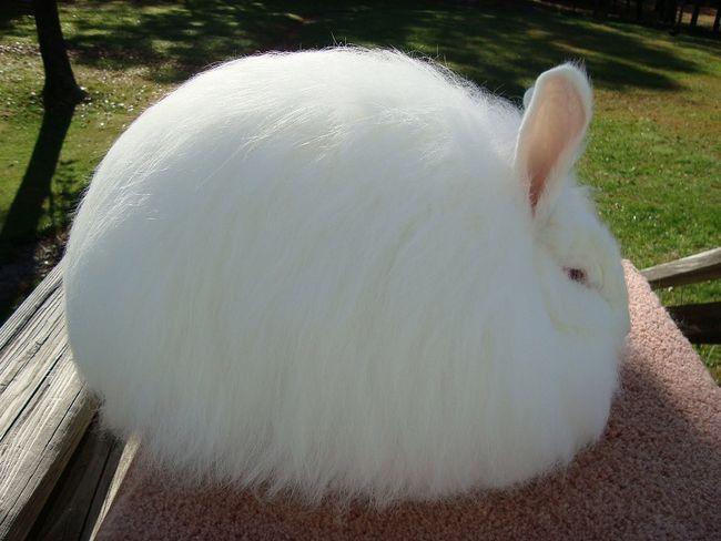 Карликовий ангорський кролик