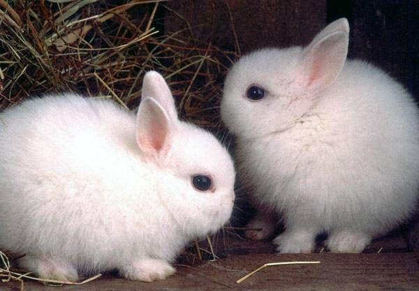 Два польських кролика
