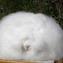 Ангорский карликовий кролик