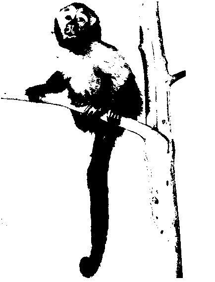 Фото 1 Каролінська, або плаче, горлиця (голуб)