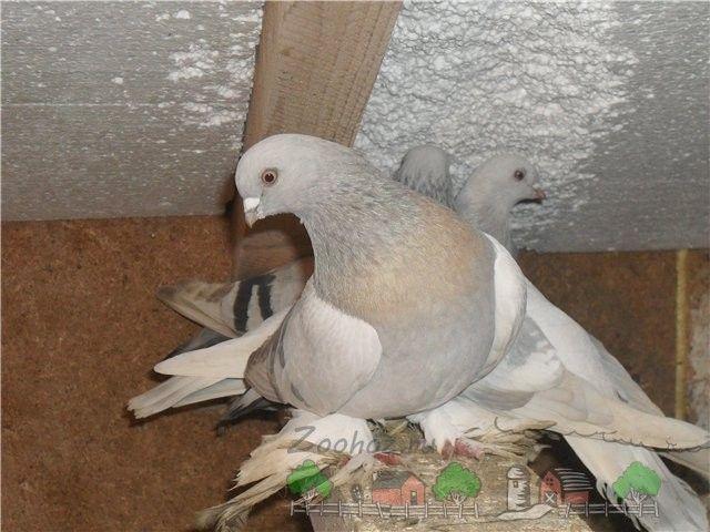 Голуби стосується в голубника