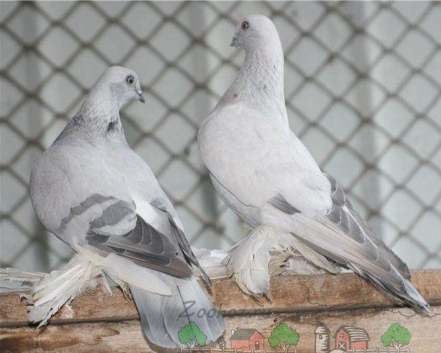 Птахи породи стосується в клітці