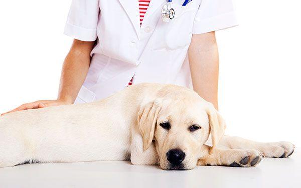 Кастрація собак: особливості та переваги процедури