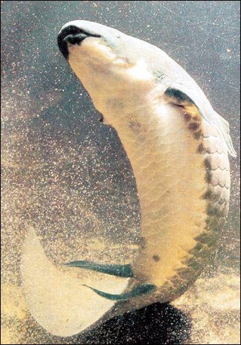 Надзагін дводишні риби (dipnoi, dipneustomorpha)
