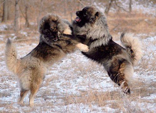 характер кавказьких вівчарок