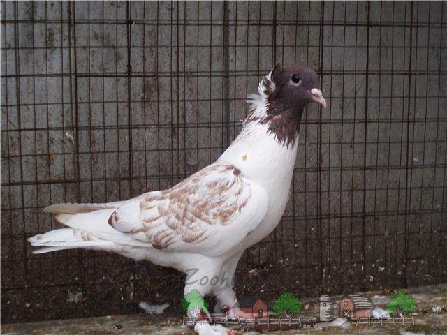 Кавмінводскій головатий щекатие - красиві і дикі іранські голуби