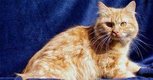Кимрик кішка фото