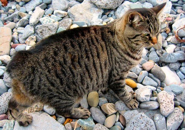 Кіт породи Менкс на каменях