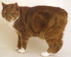 Короткошерстий кіт з білими плямами