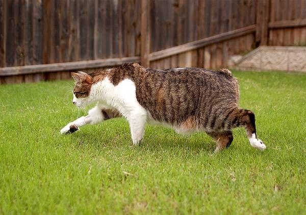 Кішка Менкс біжить по траві