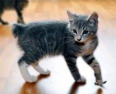 Короткошерстий кошеня без хвоста