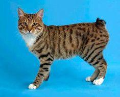 Дорослий кіт з короткою шерстю