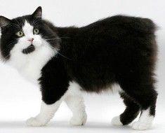 Кішка з плямистим забарвленням і довгою шерстю