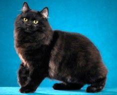 Чорний кіт з жовтими очима