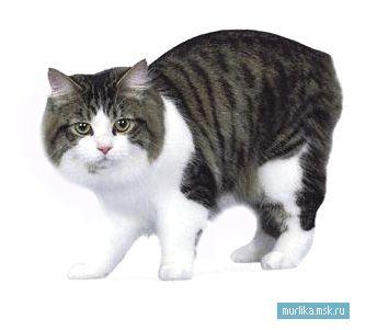Кимрського кішка (Кимрик), Кимрського кішка (Кимрик) порода кішки