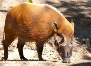 Кістеухая свиня - екзотична африканська гостя