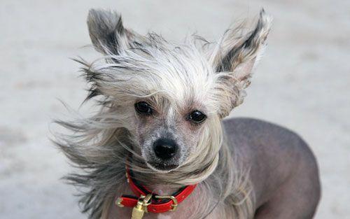 Китайська чубата собака: гола і аристократична