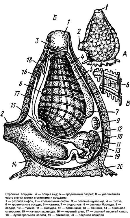 Клас асцидії (ascidiae)
