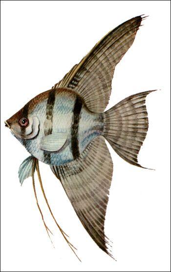 Клас кісткові риби (osteichthyes)
