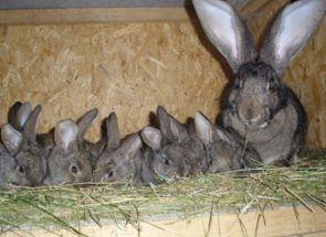 Клітки для кроликів золотухіна - що може бути простіше і дешевше?