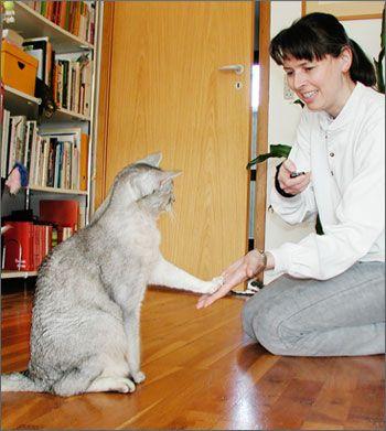 Клікер тренінг для кішок