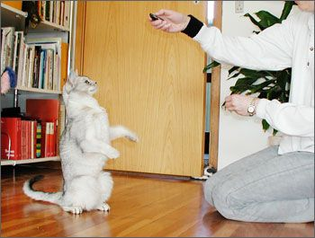 Клікер тренінг для кішки