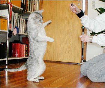 Клікер-тренінг для кішок