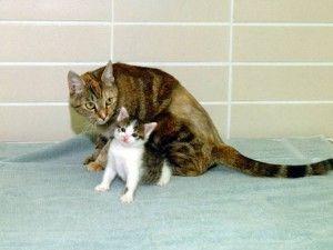 клон кішки