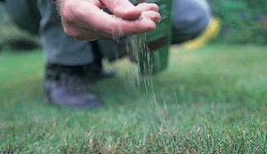 Коли сіяти газонну траву: восени або навесні