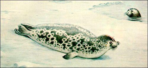 Кільчаста нерпа, або тюлень (pusa hispida)